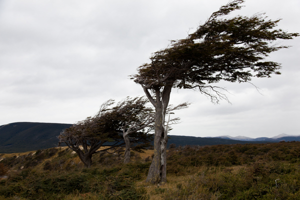 常に吹き付ける強風により曲がったまま育った木(ウシュアイア, パタゴニア)